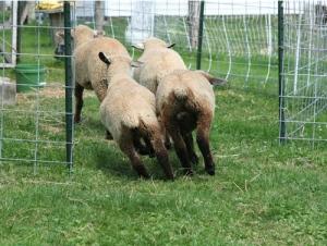sheep-runaway